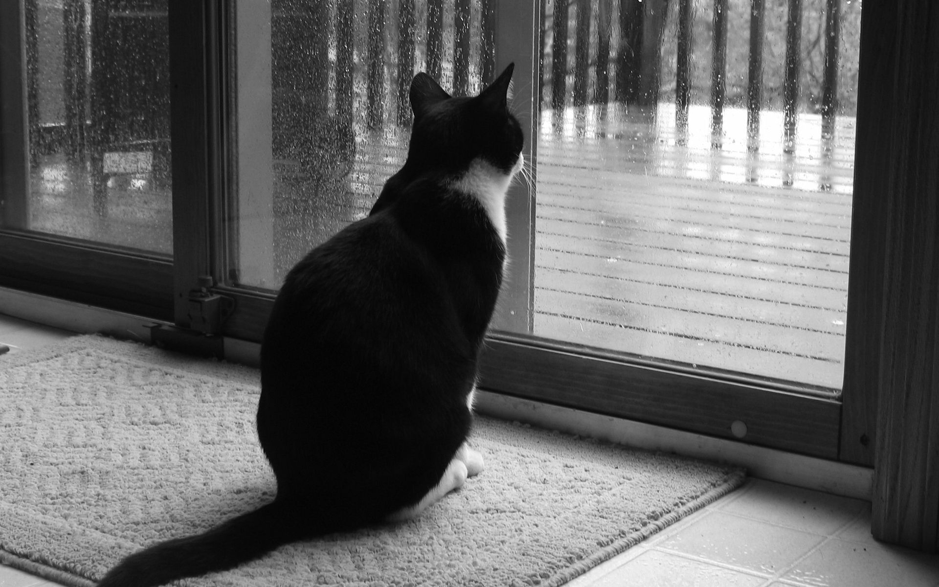 Black And White Cat Looking At The Rain Outside The Window Animal