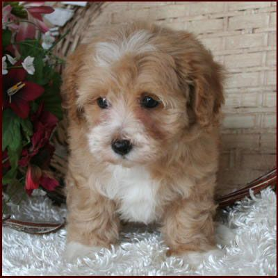 Maltipoo One Of These Sweet Guys Is On My Wish List Of Fur