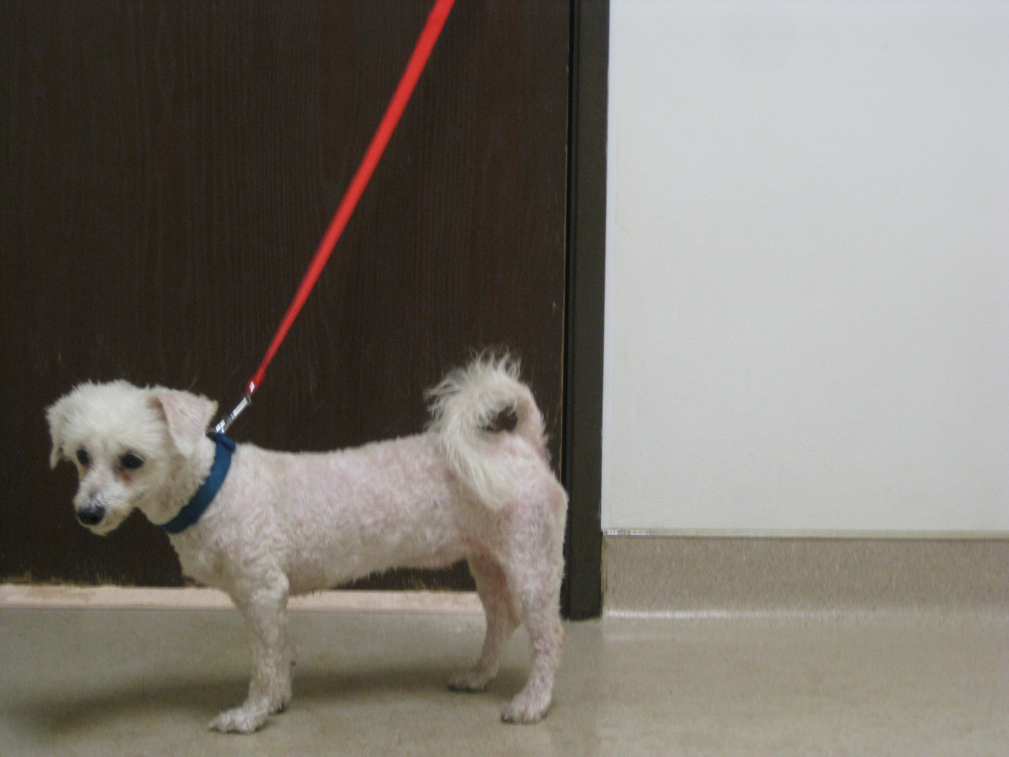 Adopt Bailey On Petfinder Bichon Frise Dogs Humane Society Dogs