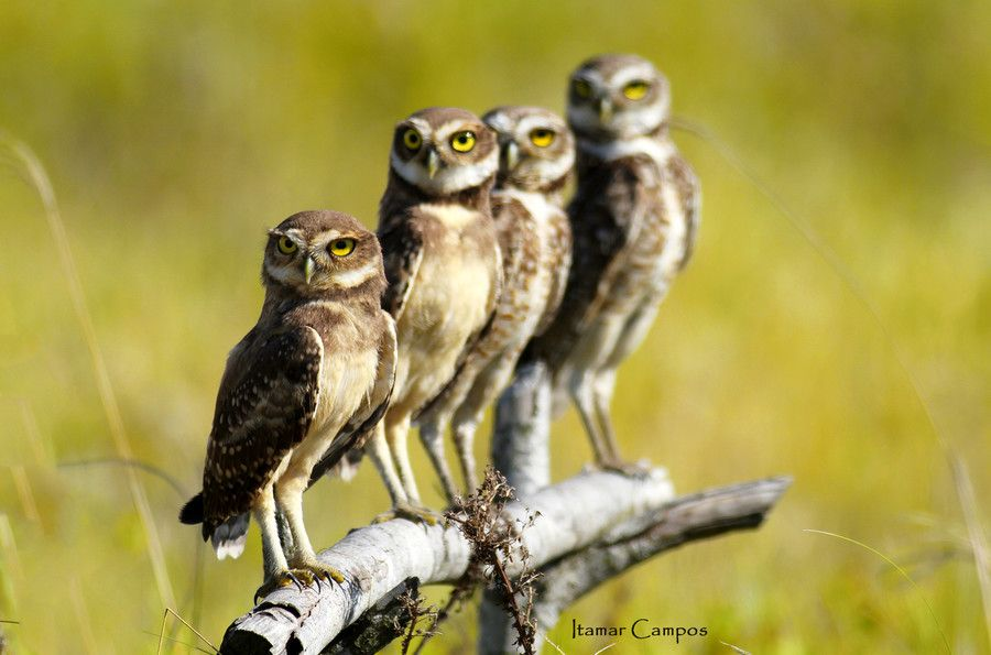 Family owl  portrait! by Itamar Campos on 500px
