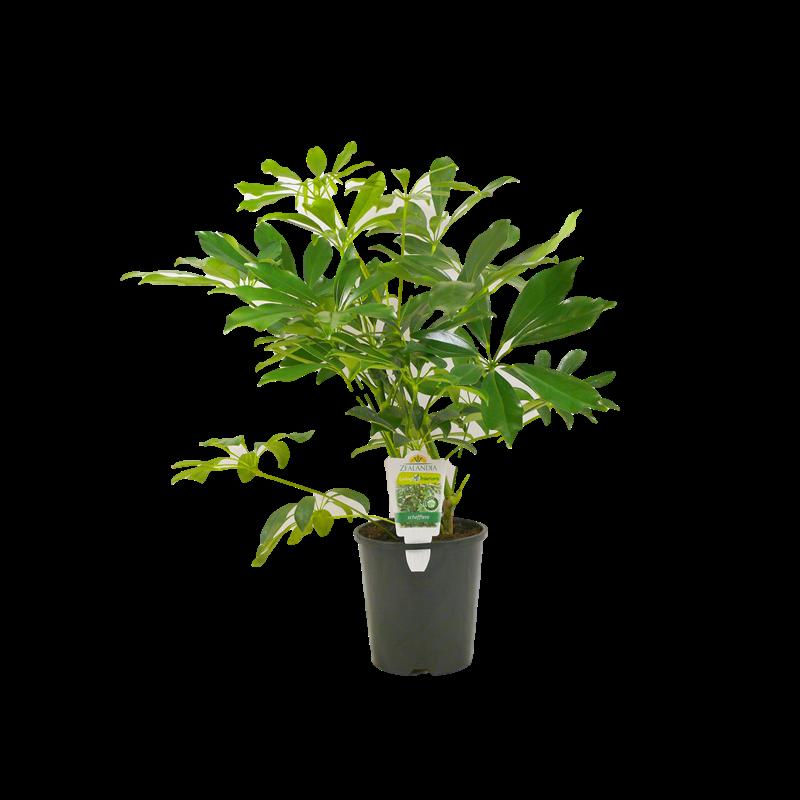 1.5L Umbrella Plant Schefflera arboricola Bunnings