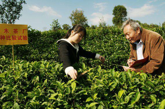 Как заварить чай пуэр чтобы был приход