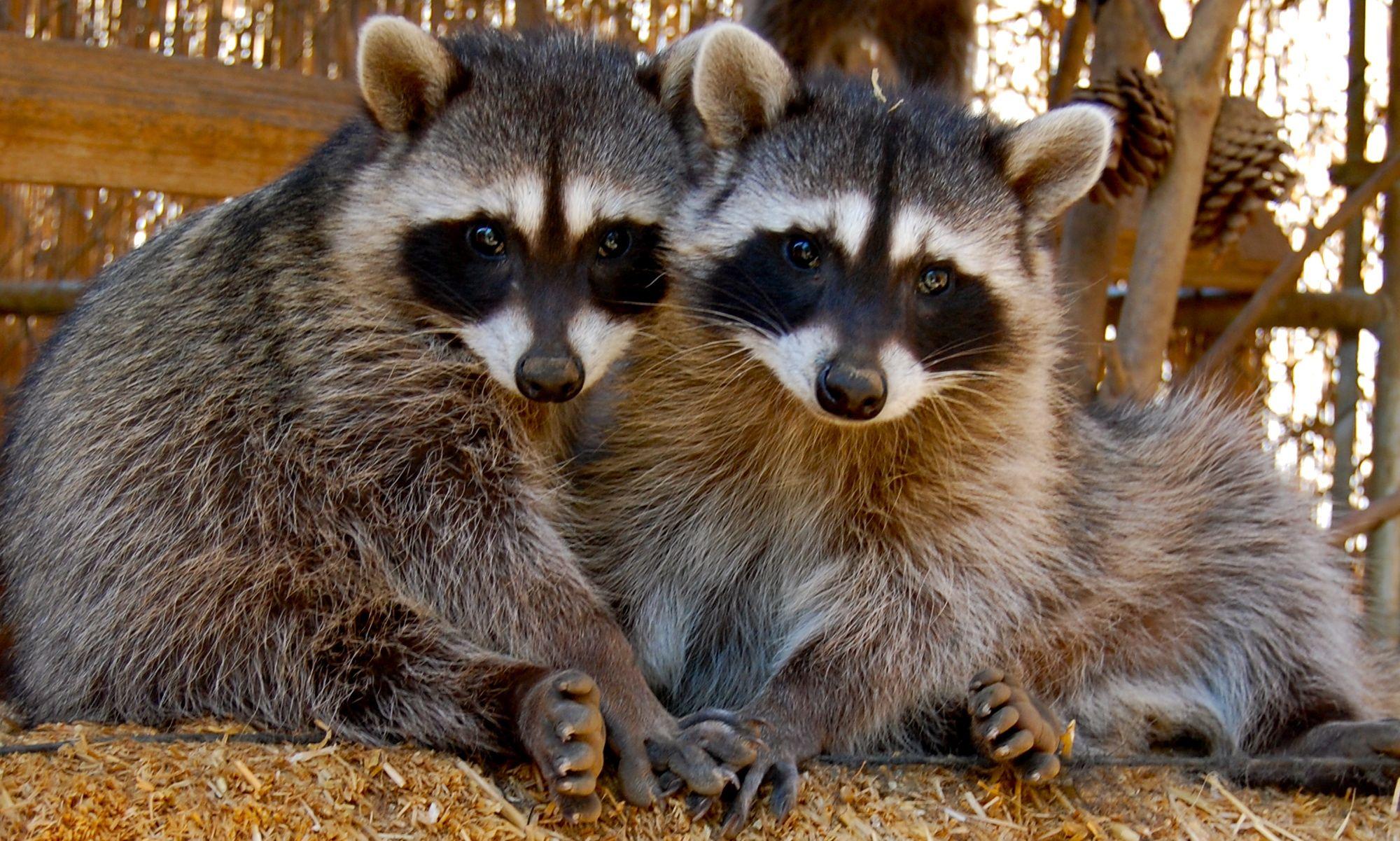 Wildlife Care Of Socal Keep It Wild Pet Raccoon Cute Raccoon Raccoon
