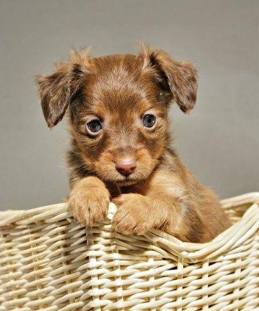 Puppy Russian Toy Terrier Russkiy Toy Russkij Toj Puppy Dog