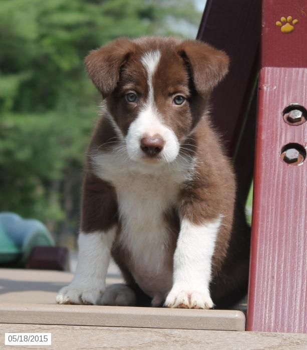 Border Collie Puppy for Sale in Pennsylvania Collie