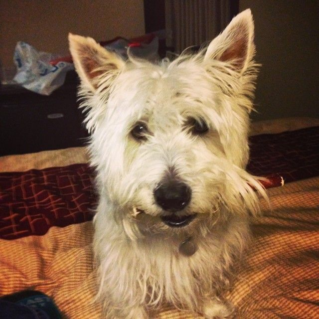 Here Is Preston The Westie Of Prestonspeaks Enjoying A Best Bully