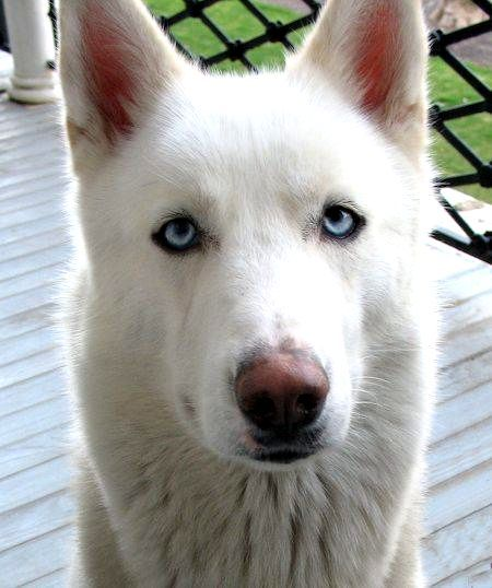german shepherd siberian husky Pets and Animals for sale in the USA - Puppy  and kitten classifieds - buy and sell kittens and puppies- AmericanListed