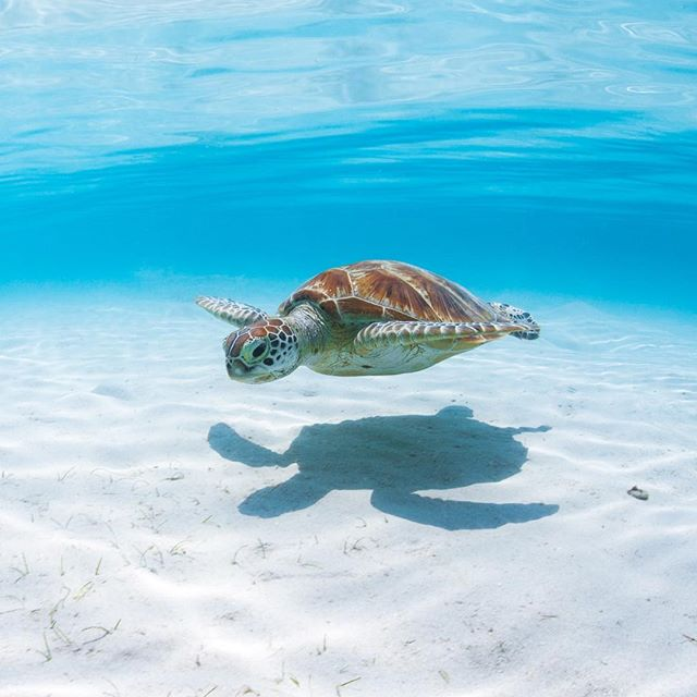 Turtle Love At Beach Love Australia Green Sea Turtles Near Lizard Island On The Great Barrier Reef Sea Turtle Pictures Turtle Day Baby Sea Turtles