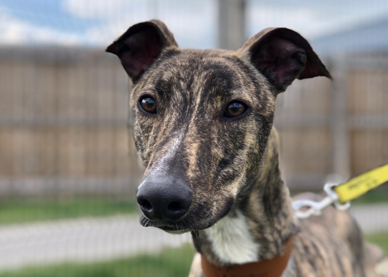Adopt a dog bertie lurcher dogs trust dog adoption