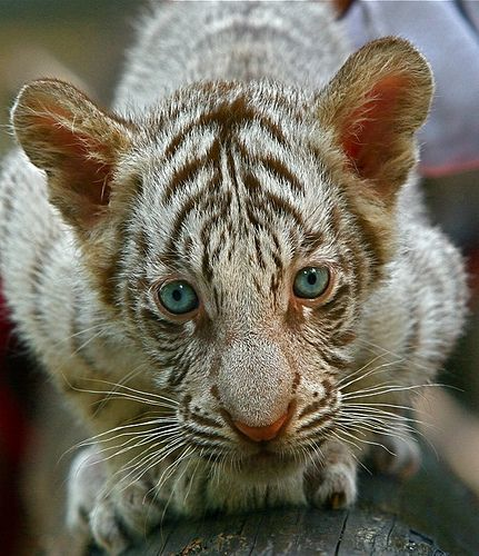 ~~ Baby White Tiger by Chi Liu~~