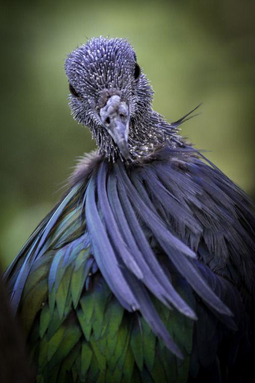 A Molting Nicobar Pigeon By Peter Csanadi Nicobar Pigeon Beautiful Birds Colorful Birds