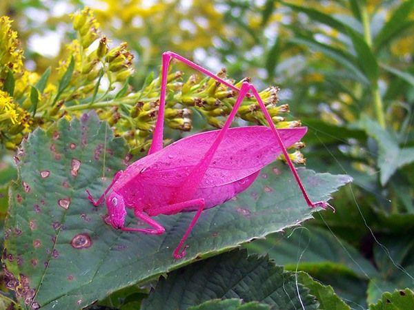 遺伝子異常のピンクキリギリス