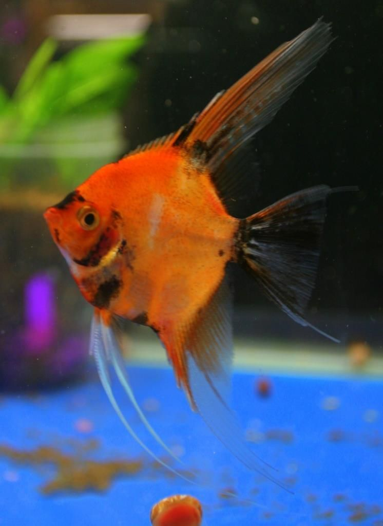 Koi Angelfish Angel Fish Beautiful Fish Aquarium Fish