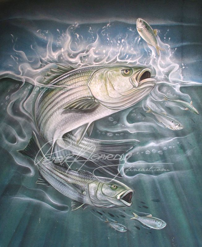 striped bass bass pinterest fish. Black Bedroom Furniture Sets. Home Design Ideas