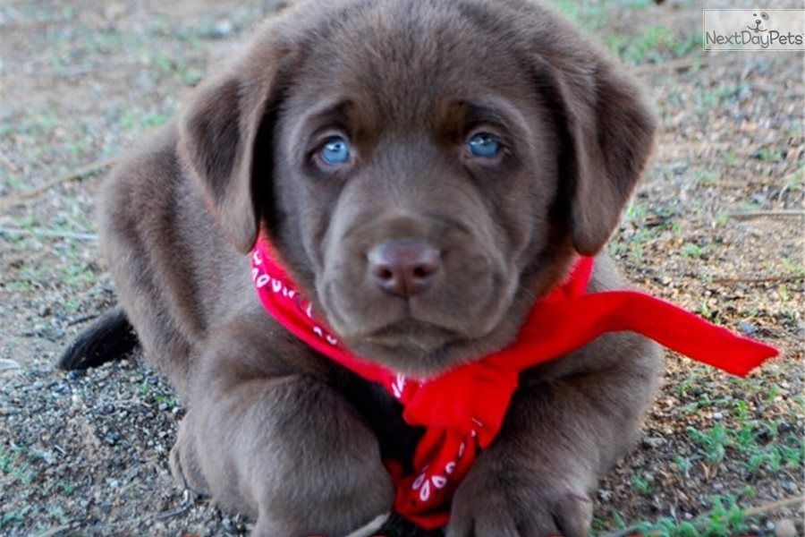 Hershey Labrador Retriever Puppy For Sale Near Orange County California 2168415f 3bf1 Retriever Puppy Labrador Retriever Labrador Retriever Puppies