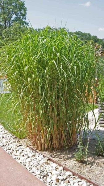 miscanthus giganteus elefantengras gr ser pinterest gardens grasses and garten. Black Bedroom Furniture Sets. Home Design Ideas