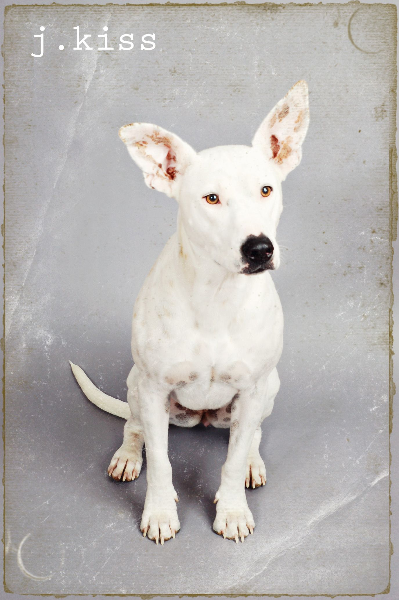 Rosie English Bull Terrier Mixed With An Australian Cattle Dog Www Sugarbloomstudio Com Bull Terrier Mix English Bull Terriers English Bull