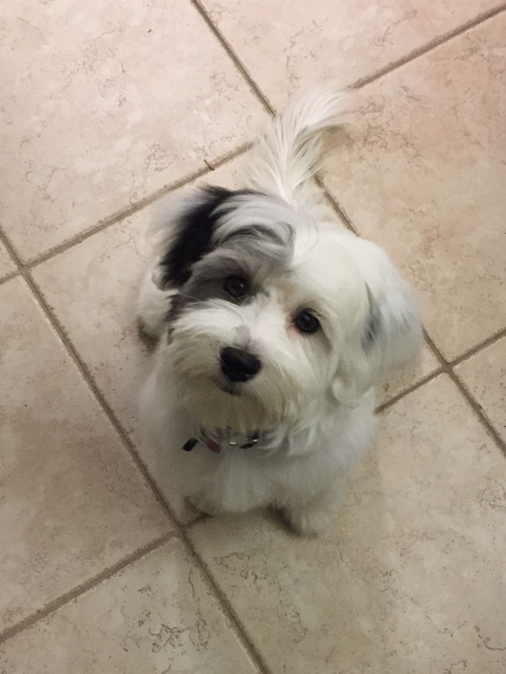 Jackson S First Professional Grooming Havanese Cute Dogs Dogs