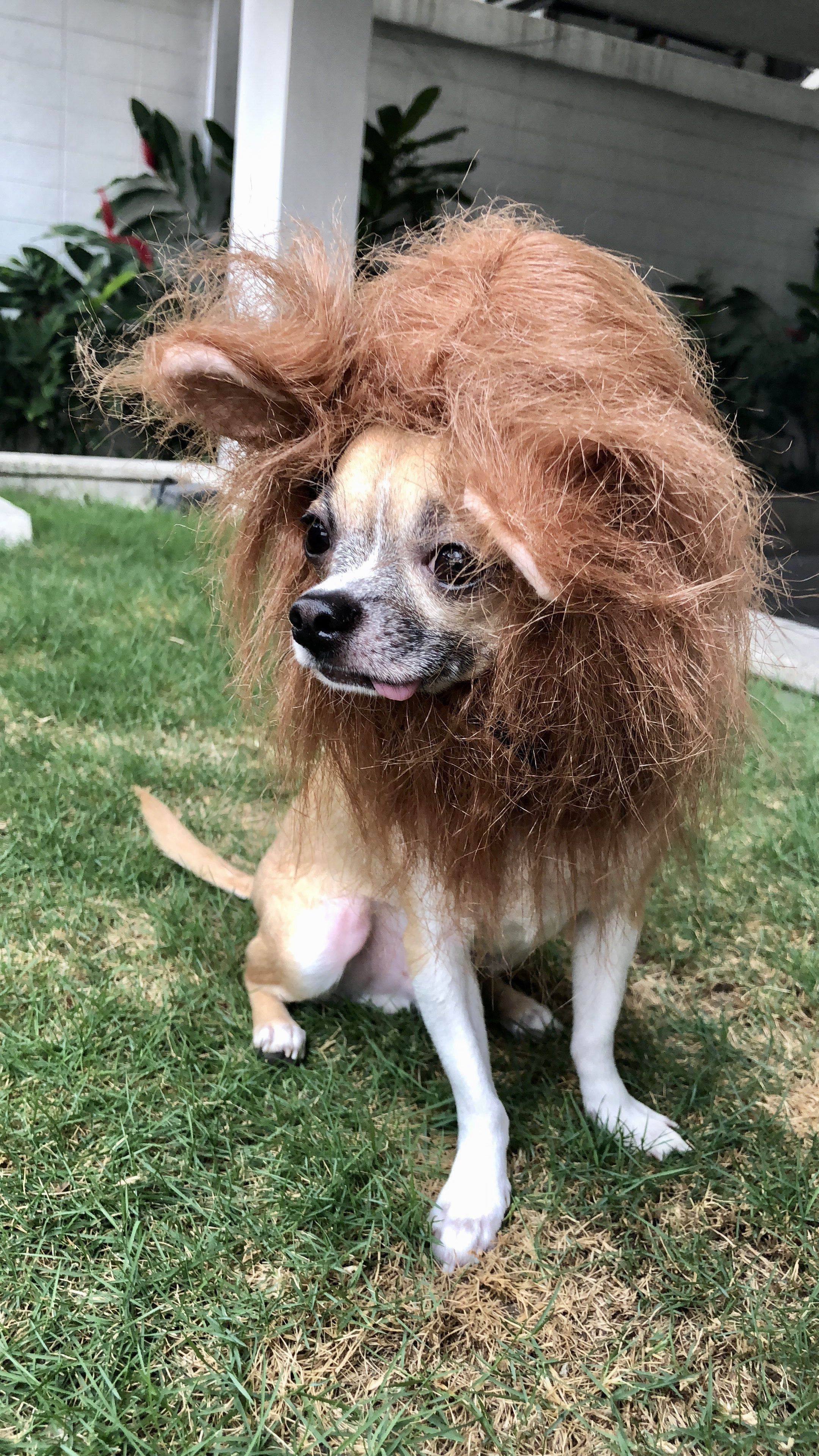 Lion Chihuahua Chihuahua Dogs Animals