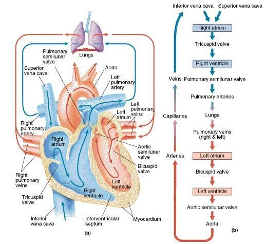 Pulmonary blood flow tricuspid valve into the rv through pulmonary blood flow tricuspid valve into the rv through pulmonary valve to human heart diagramdiagram ccuart Choice Image