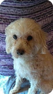 Pin By Cheryl Law On Dogs I Like Poodle Dogs Poodle Mix