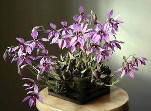Orchids Plant Species Ancistrochilus Rothschildianus Orchidee Plant Anggrek