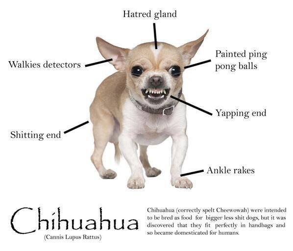 Anatomy Of A Chihuahua 10 Times More Likely To Be Bitten By This
