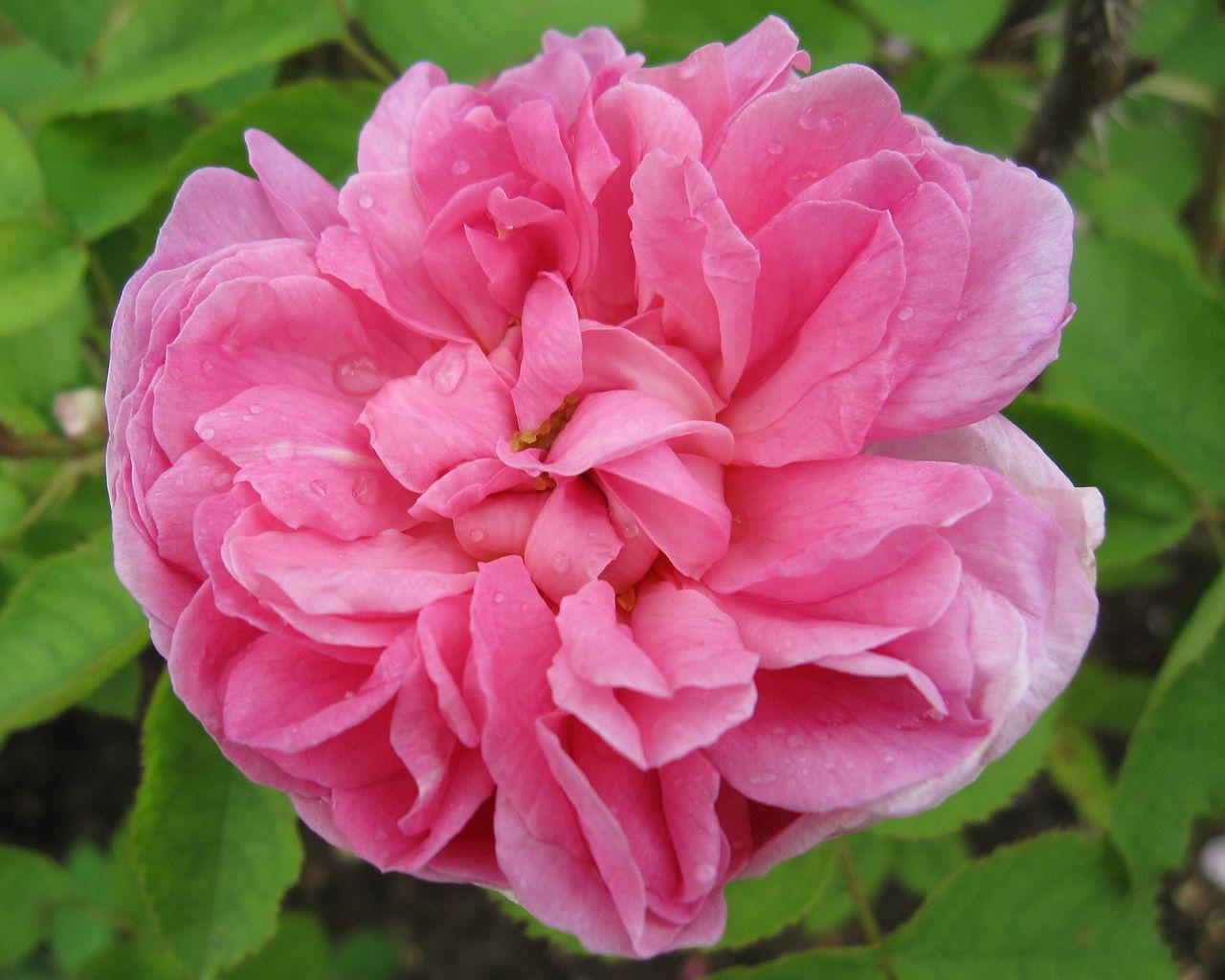 salet est la r f rence de la rose ancienne capiteuse et romantique exhalant un fort parfum. Black Bedroom Furniture Sets. Home Design Ideas