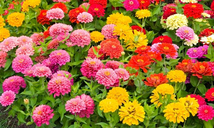 Roll Out And Water These Seed Mats To Create Vibrant Colorful Flower Varieties Including Zinnias