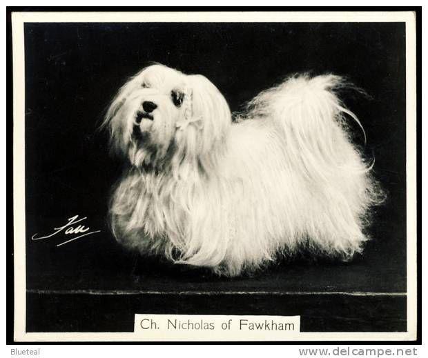Maltese Terrier Malteser dog chien cane perro hund
