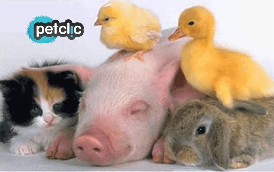 Fotos divertidas de animales #gato #pollo #cerdo #conejo #pato ...