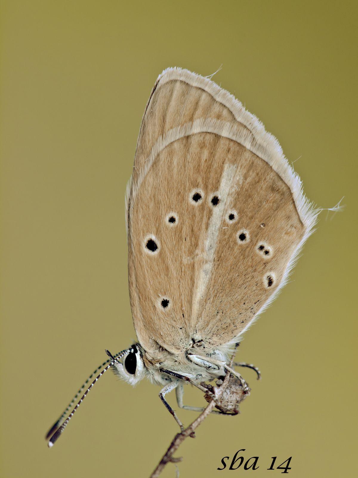 Polyommatus dolus, Furry Blue