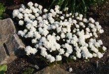 Sanguinaria canadensis fl pl