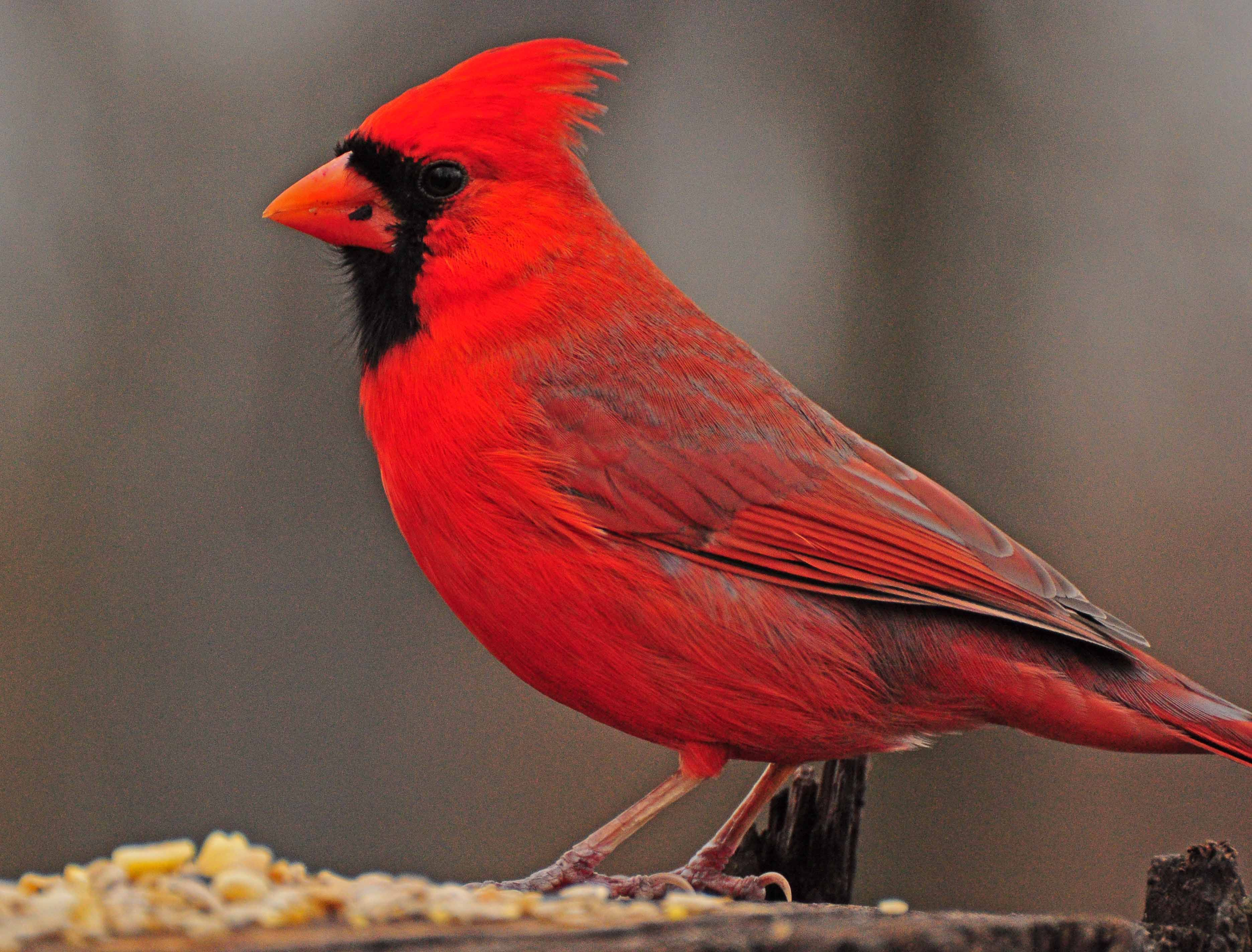 Cardinal virginia state bird ohio birds bird
