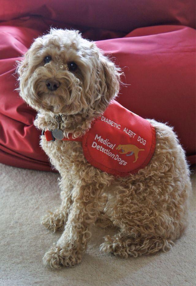 Medical Alert Dog Type 1 Diabetes Mini Golden Doodle T1d