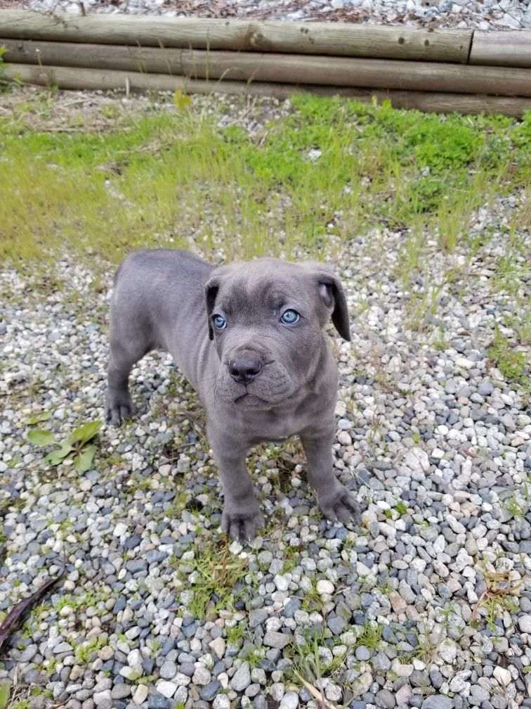Blue Cane Corso With Electric Blue Eyes