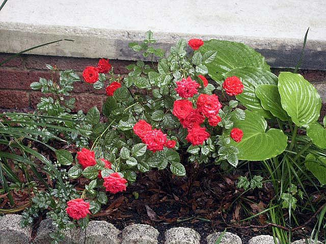 Miniature Red Rose Bush Rose Bush Planting Flowers Red Roses