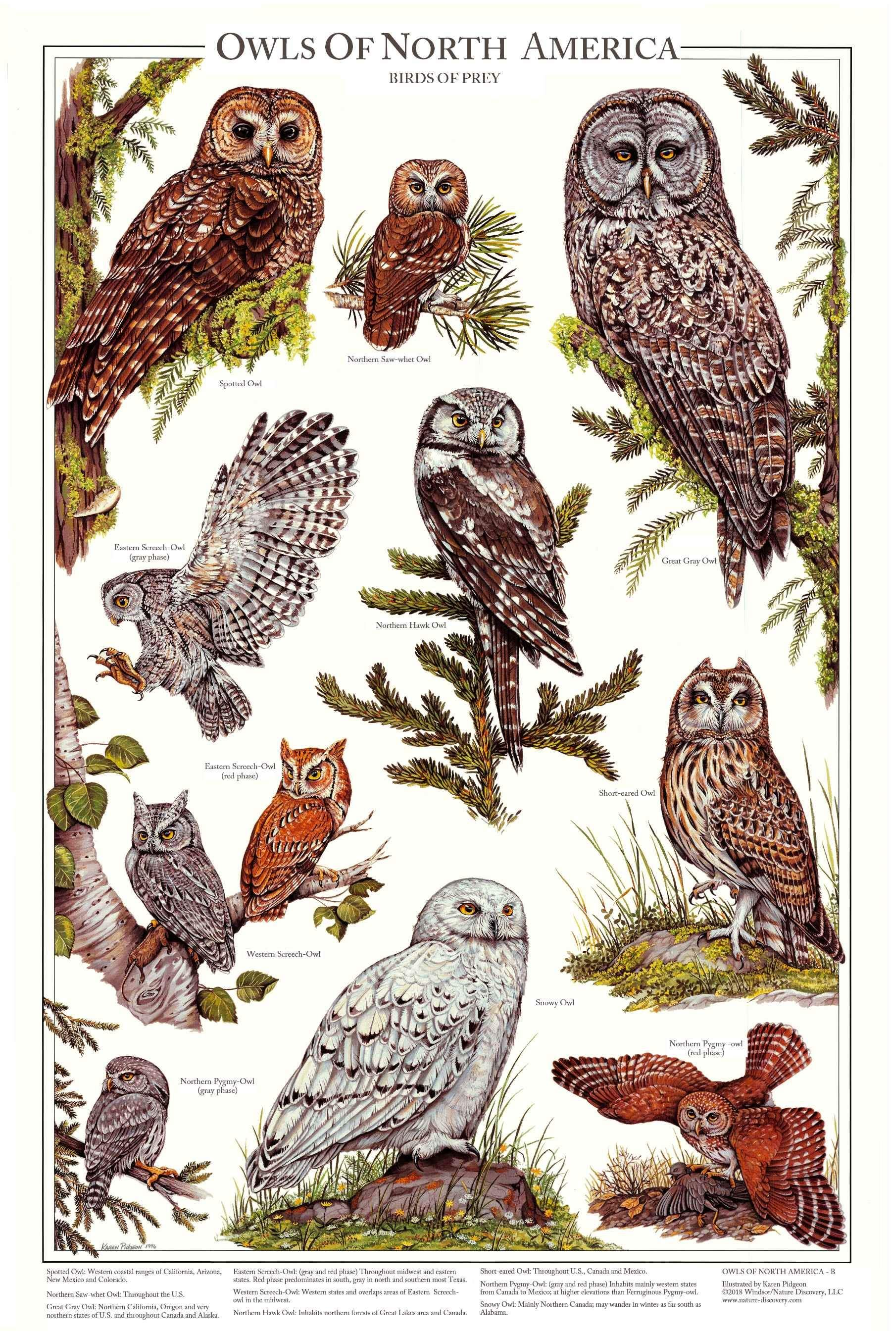 Owls of North America Poster/Identification Chart Vol 2 ...
