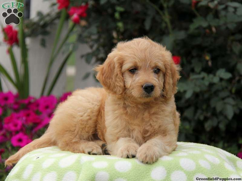 Anabelle, Mini Goldendoodle puppy for sale in Ronks, Pa