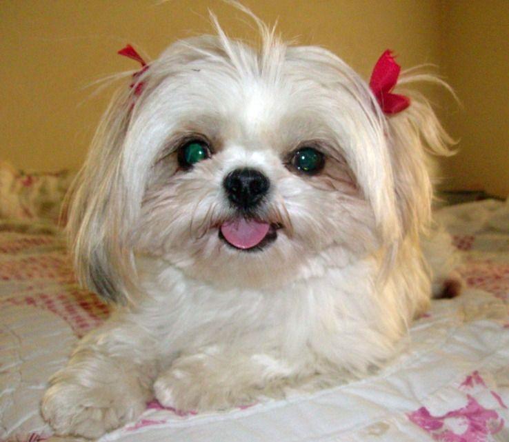 Funny Shih Tzu Cute Puppies Wallpaper And Pictures Funny And Cute Animals Shih Tzu Puppy Cute Puppy Wallpaper Shih Tzu