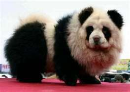 Luv the fad of dying your dogs fur to look like a panda!