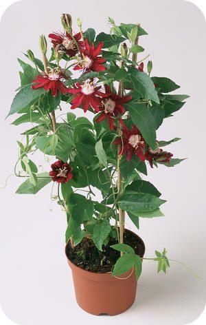Passiflora Lady Margaret een rode passiebloem als
