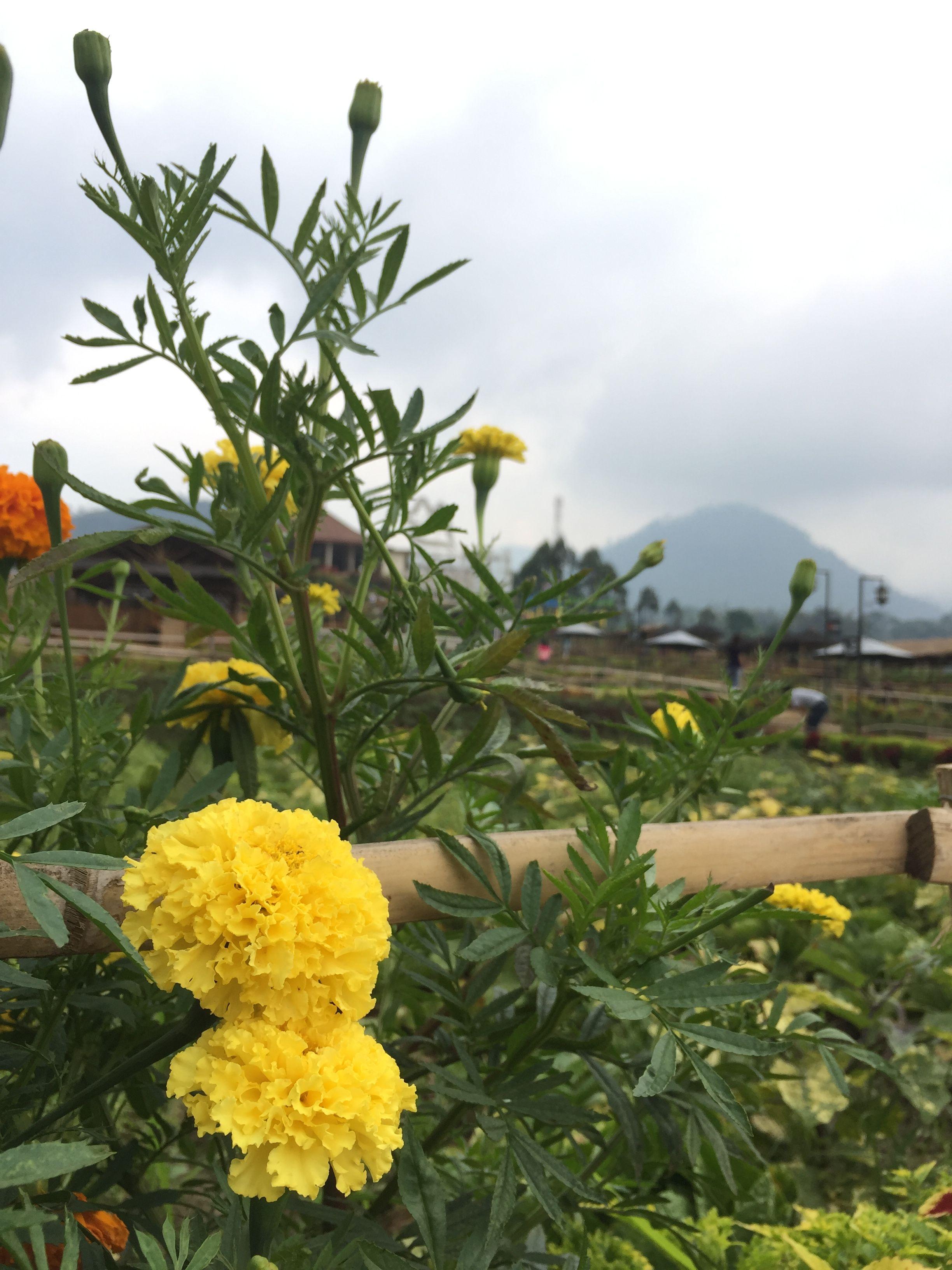 Bunga Kuning Cafe Sawah Malang Bunga Kuning Bunga Perjalanan