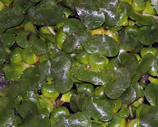 mit der schwimmenden wasserhyazinthe algen im teich bek mpfen wasser im garten pinterest. Black Bedroom Furniture Sets. Home Design Ideas