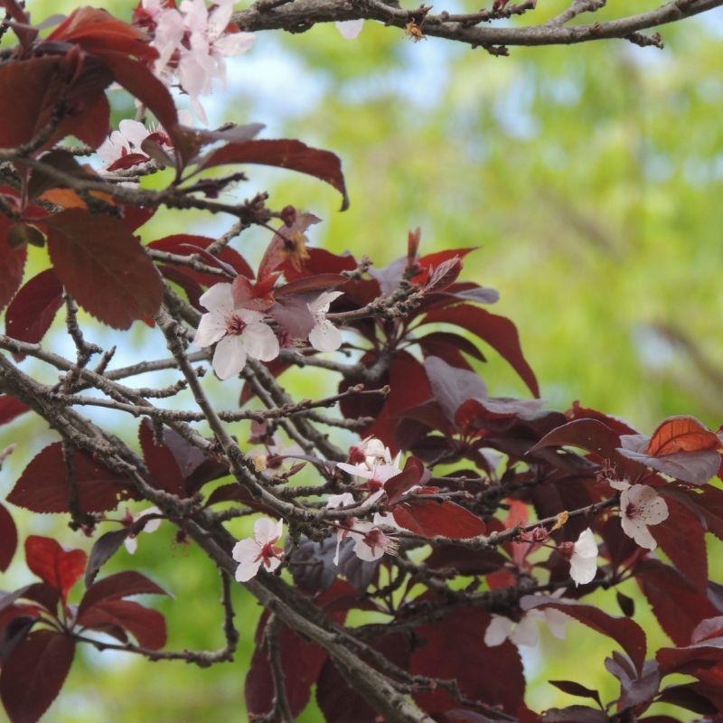 Dwarf Red Leaf Sand Cherry Purple Leaf Sand Cherry Plum Leaves Red Shrubs