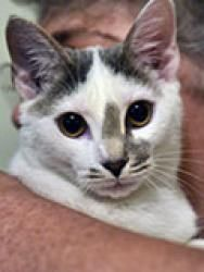 Alfalfa Is An Adoptable Domestic Short Hair Gray And White Cat In Durham Nc Meet Independent Animal Rescue Cats Grey And White Cat Cat Adoption Cat Rescue