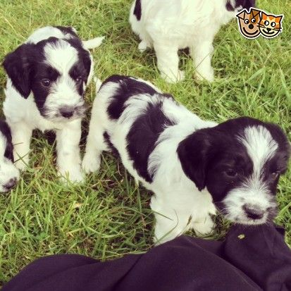 Beabull Puppy For Sale In Ohio Puppies Puppies For Sale Cute