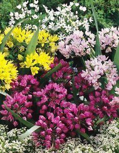 60 Mixed Miniature Allium Bulbs Hardy Fragrant Summer