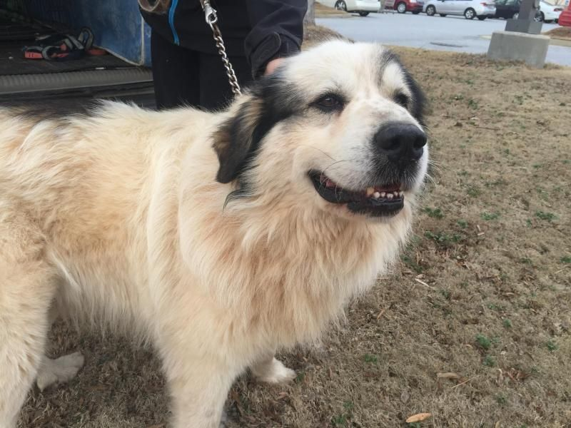 Meet Buddy, a Petfinder adoptable Great Pyrenees Dog | Milton, GA | Buddy is an older Great Pyrenees. He came in as a stray so we don't really know his age, but we are...