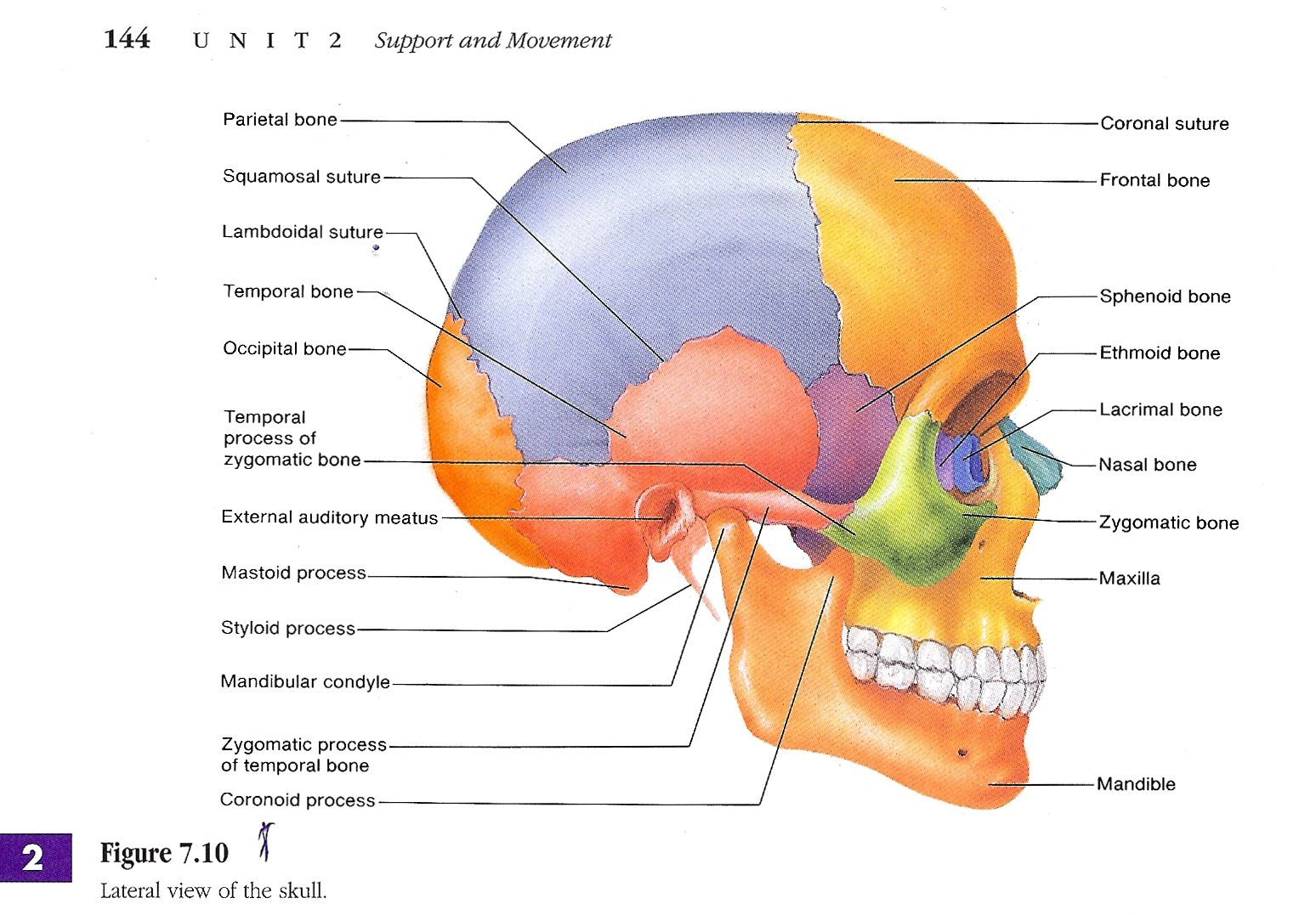 Skull Labeled